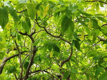 Pisonia, Auspicious Tree With Light Yellow-green Leaves (Scientific Name That Pisonia Grandis R.Br.). Moonlight Tree Originated In Tropical America. Leaves Hit The Moonlight, Thus Creating A Soft Glow