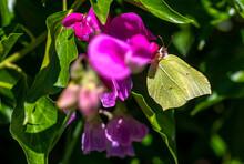 Macro Shot Of A Brimstone Butterfly (gonepteryx Rhamni) Sitting On A Pink Vetch.