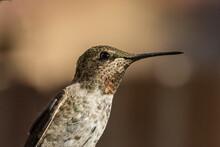 Anna's Hummingbird (Calypte Anna) Portrait In High Def