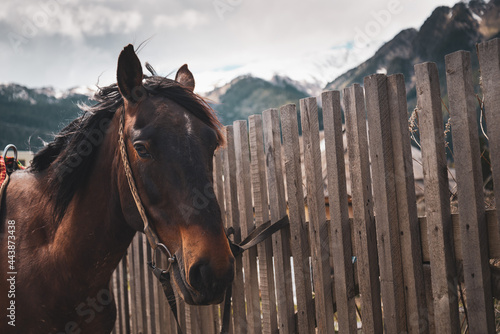 Tela One of the most enduring horses in the world, horses of the Karachay breed