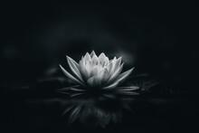 White Lotus Flower Dark Background