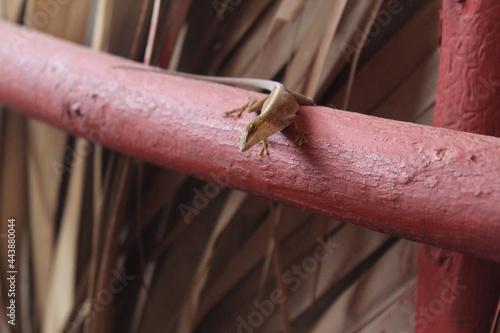 Fotografiet lagartija en baranda de madera roja