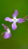 Fototapeta Kuchnia - Night flowers violet spring Matthiola longipetala isolated