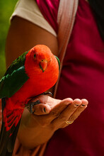Feeding Parrots In The Forest At Kallista Dandenong Ranges.