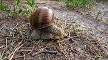 A Large Snail Crawling On The Ground
