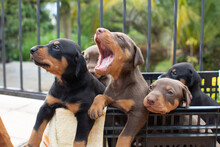 Group Of Doberman Dog Puppies Sitting In A Basket Outdoors