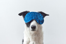 Black And White Dog With Blue Blindfold