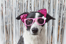 Black And White Dog With Glasses And Ears
