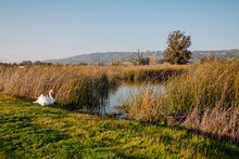 Swan Standing Near Grass And Pond