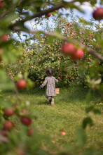 Girl Picking Apples In An Apple Orchard