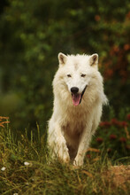 Male Arctic Wolf (Canis Lupus Arctos) He Looks Like He's Smiling
