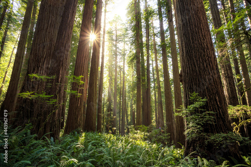 Tela Afternoon Light on the Redwoods, Jedediah Smith State Park, Redwoods National Pa