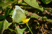 Lemongrass Butterfly On A Yellow Flower. Collects Nectar. Forest Insects.