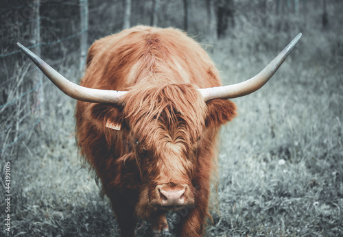 La vache ecossaise Fotobehang