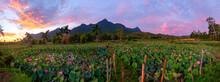 Dawn In The Lotus Field
