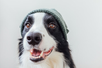 Funny portrait of cute smiling puppy dog border collie wearing warm knitted clothes hat isolated on white background. Winter or autumn portrait of new lovely member of family little dog.