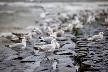 Seagulls In The Netherlands On The Beach Of Petten