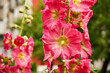 pink mallow, Alcea