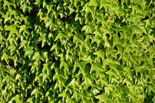 Fresh Green Leaves Of Parthenocissus Tricuspidata (family Vitaceae) On A Wall In Spring Time
