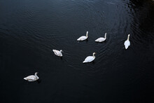 Family Of Swimming Swans On River. Six White Birds. Top View. Dark Contrast Photo. Cold Autumn Or Winter Season. Animal Wildlife. Together. Ornithology. Nice Natural Landscape. Spring Day. Copy Space