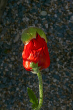 New Red Poppy Flower Emerging From Its Bud
