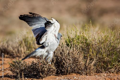 Fotografija Pale Chanting-Goshawk hunting in ground in Kgalagadi transfrontier park, South A
