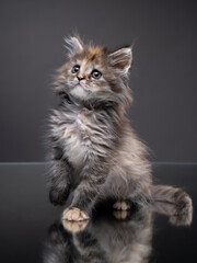 Maine Coon kitten on a gray background with reflection. Cat in the studio.