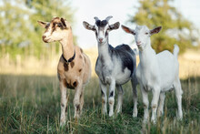 Two Young Goats And One Buck Poses To Camera