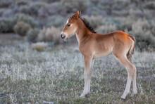 Wild Horse Foal In The Utah Desert