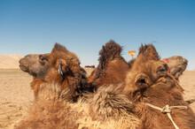Kamele Rasten In Der Wüste Gobi, Mongolei