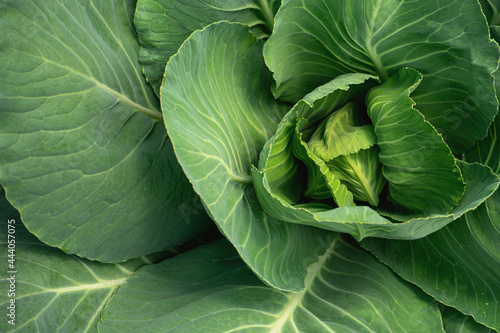 Fotografija Green cabbage with leaves growing in the garden. Close-up