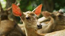 Portrait Of A Deer In A Zoo