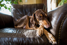 Brown And Tan Dog In A Large Leather Armchair