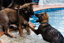 German Shepherd Water-fight