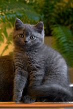 Cute Little Male Cat, Cute Expression On The Table At Home