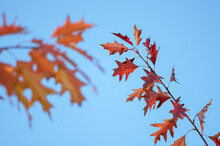 Two Branches With Yellow And Red Leaves Of Northern Red Oak Against Background Of Blue Sky In Autumn