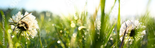 Canvas Blowball on a morning dew nature meadow background
