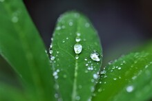 Waterdrops On A Lupine Leaf As A Close Up