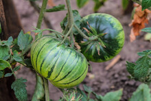 Striped Green Tomato Ripening On A Bush. Striped Zebra Tomato Variety.