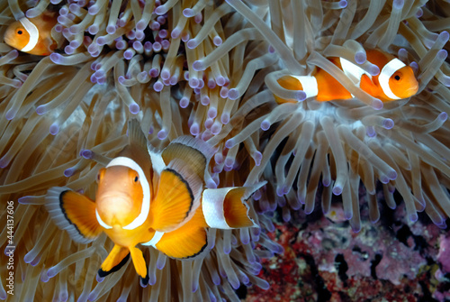 Fototapeta An anemone and it's Clown fish