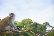 The Macaque On The Island.