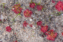 Red Rosettes Of A Sundew (Drosera Sp.) In Sandy Habitat On The Bokkeveld Plateau Close To Niuwoudtville In The Western Cape Of South Africa