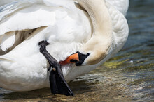 White Swan On The Lake Close-up. A Graceful White Swan Cleans Its Feathers And Paws With Its Beak.