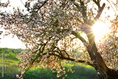 Canvas Blooming almond tree in the sun