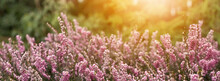 Long Banner. Cover For Pages On Social Networks. Forest Landscape - Purple Small Flowers Close-up. Greenery In The Background, The Sun At Sunset Or Dawn.
