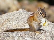 Colorado Chipmunk Eating Popcorn In Rocky Mountain National Park, Colorado