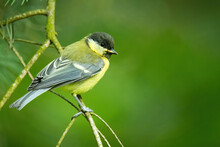Great Tit (Parus Major), With Beautiful Green Background. Colorful Song Bird With Yellow Feather Sitting On The Branch In The Mountains. Wildlife Scene From Nature, Czech Republic