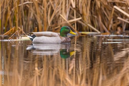 Obraz na plátně canard col vert sur l'eau dans un marais