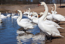 Lake Or River With Swans That Came Ashore