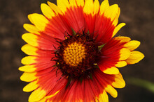 Blanket Flowers Or Gaillardia Aristata, Common Gaillardia
